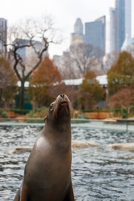 Sea Lion in Central Park